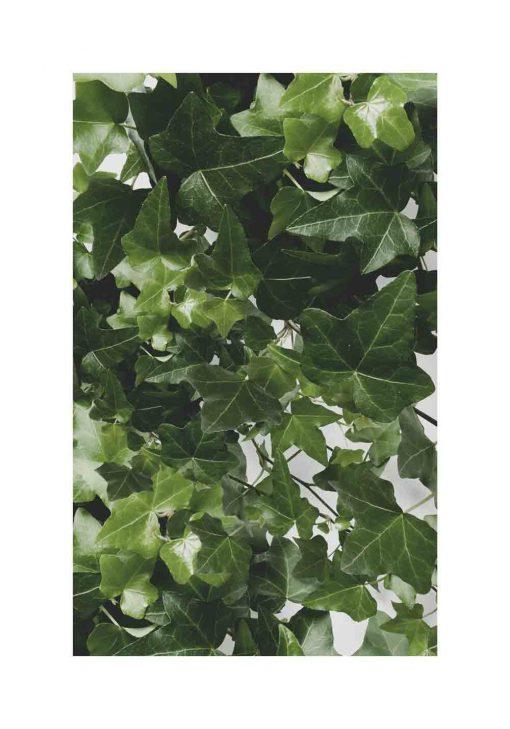 Plakat z rośliną zimozieloną