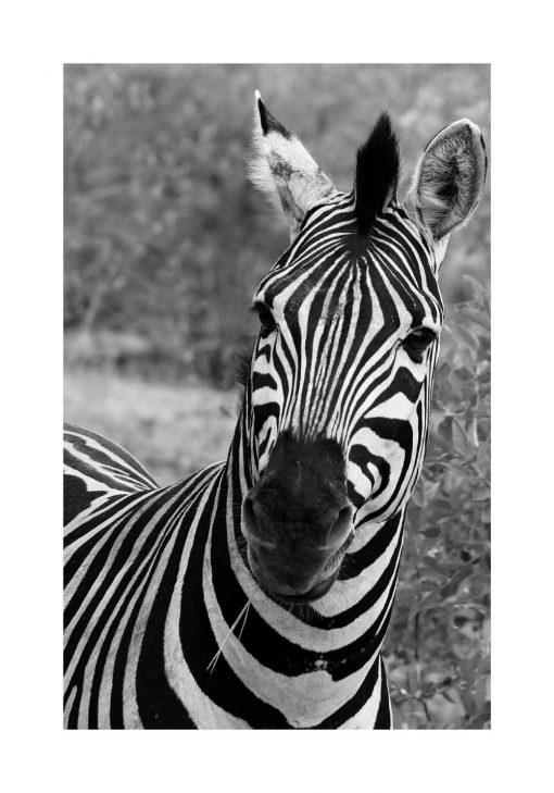 Plakat z zebrą pręgowaną