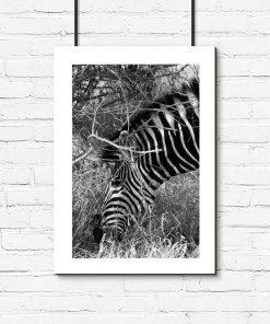 Plakat z zebrą do pokoju