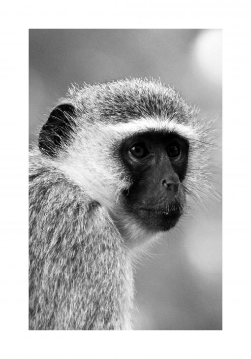 Plakat - Małpa