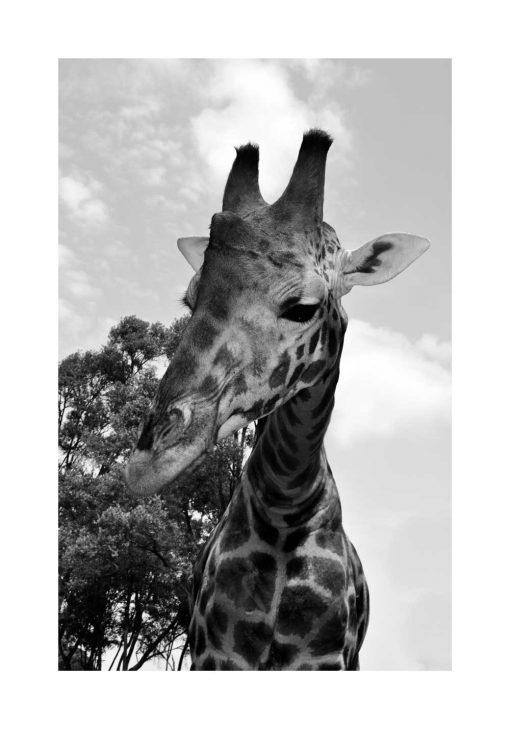 Plakat żyrafa na tle drzewa do przedszkola