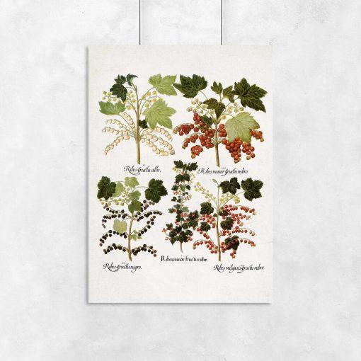 Botaniczny plakat z odmianami porzeczki do biura