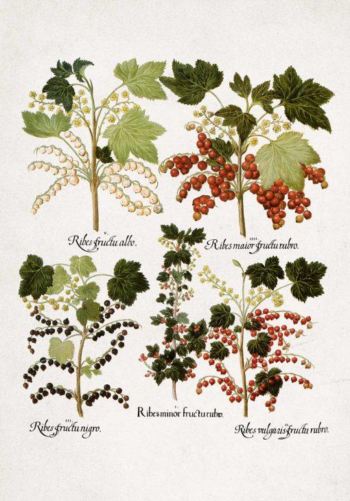 Botaniczny plakat z odmianami porzeczki do kawiarni