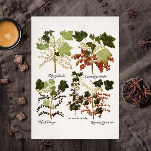Botaniczny plakat z odmianami porzeczki do kuchni