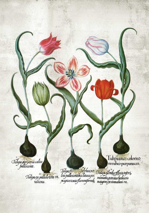 Botaniczny plakat z tulipanem do jadalni