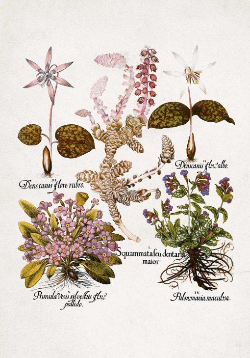 Fioletowe prymulki - Plakat botaniczny do jadalni