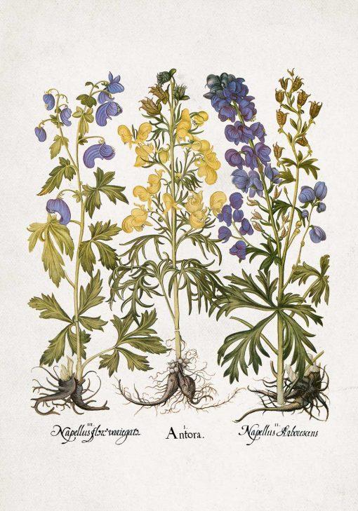 Fioletowo-niebieski mordownik - Plakat botaniczny do kuchni