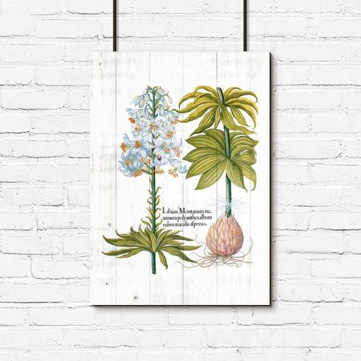 Plakat biała lilia i łacińska nazwa