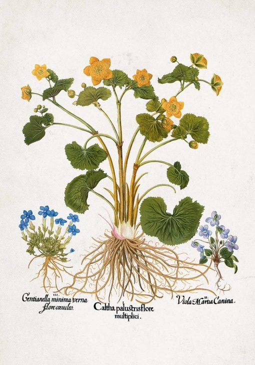Plakat botaniczny - Łąkowe kwiaty do kuchni