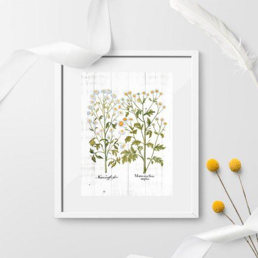 Plakat edukacyjny z kwitnącym rumiankiem