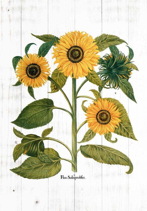 Plakat edukacyjny ze złotymi słonecznikami