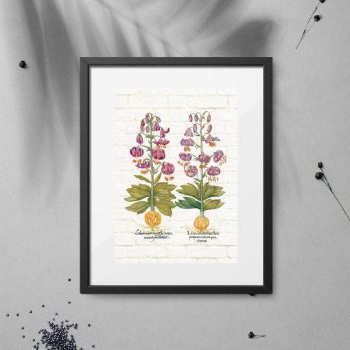 Plakat fioletowe lilie i łacińskie nazwy