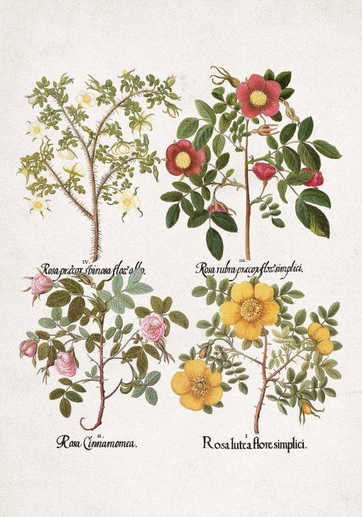 Plakat odmiany różyczek