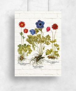 Plakat z anemonami i łacińskimi nazwami