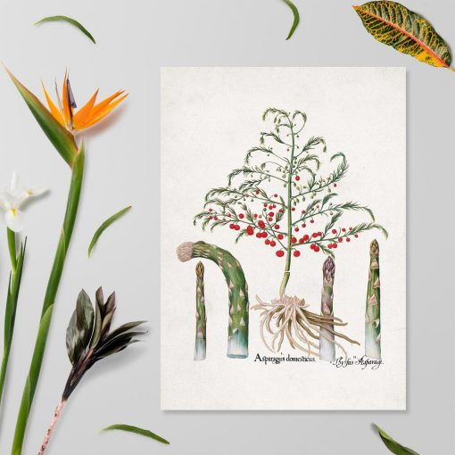 Plakat z asparagusem zwanym paprotką