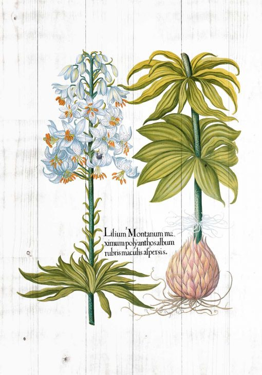Plakat z białą lilią i łacińską nazwą