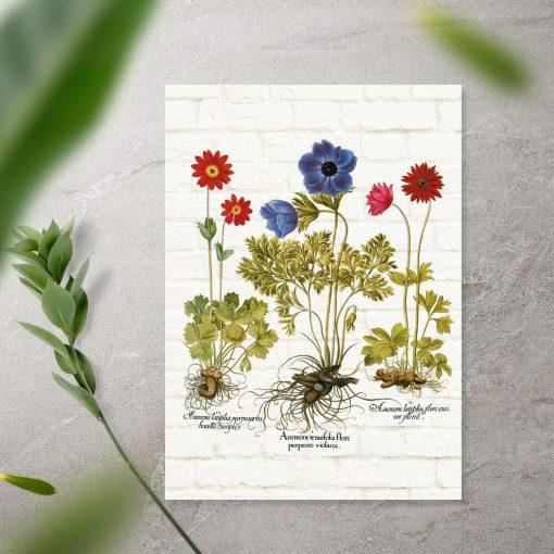 Plakat z gatunkami anemonów i łacińskimi nazwami