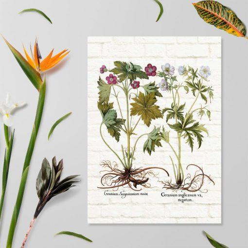 Plakat z geranium pachnącym