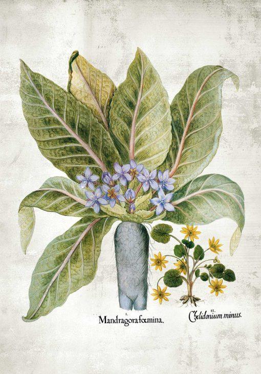 Plakat z korzeniem mandragory i wilczą jagodą