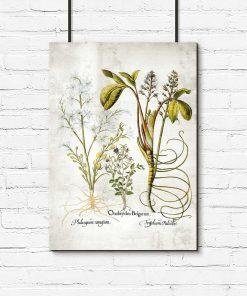 Plakat z kwiatem pęczyny błotnej do biura