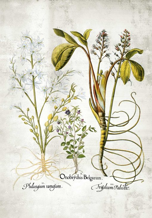 Plakat z kwiatem pęczyny błotnej do kuchni