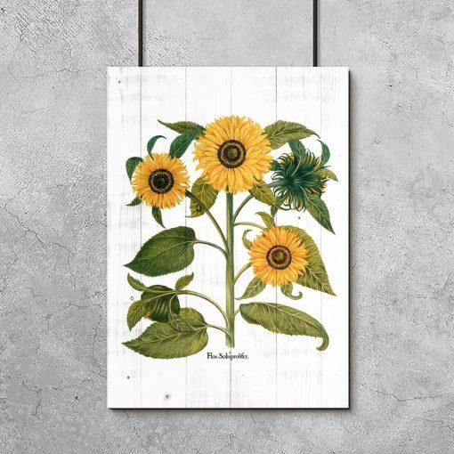 Plakat z łacińską nazwą słonecznika