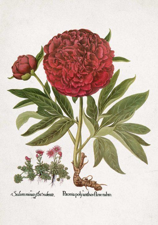 Plakat z motywem kwitnącej piwonii