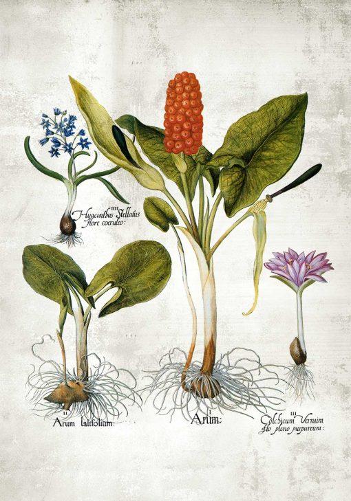 Plakat z motywem roślin wieloletnich - rycina