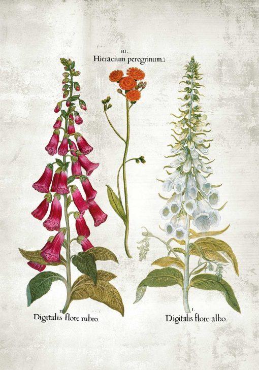 Plakat z naparstnicą purpurową i białą