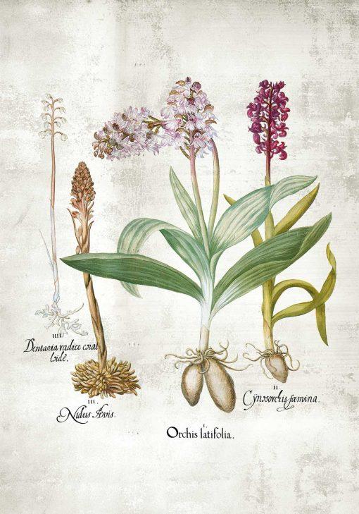 Plakat ze storczykami łąkowymi
