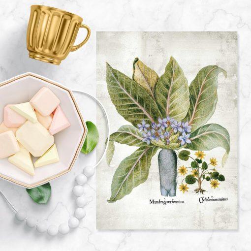 Plakaty z roślinami leczniczymi - mandragora i pokrzyk