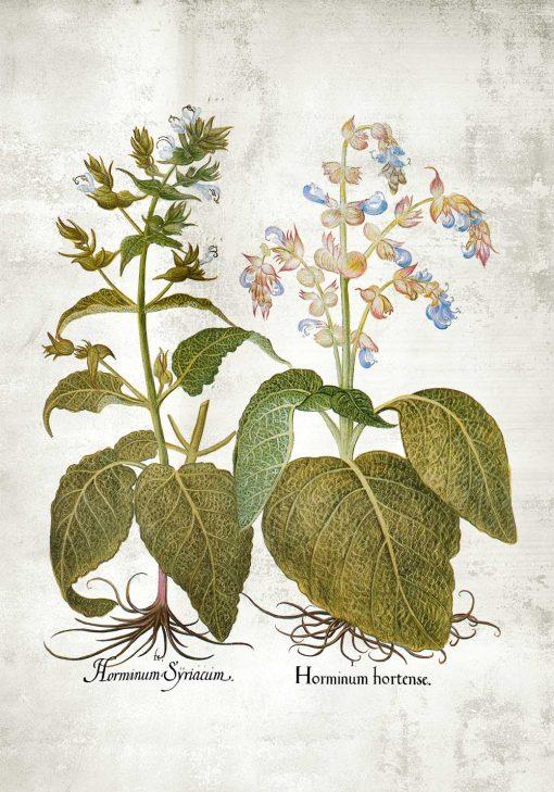 Botaniczny plakat z szałwią trójbarwną do kuchni