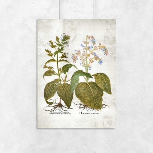 Botaniczny plakat z szałwią trójbarwną
