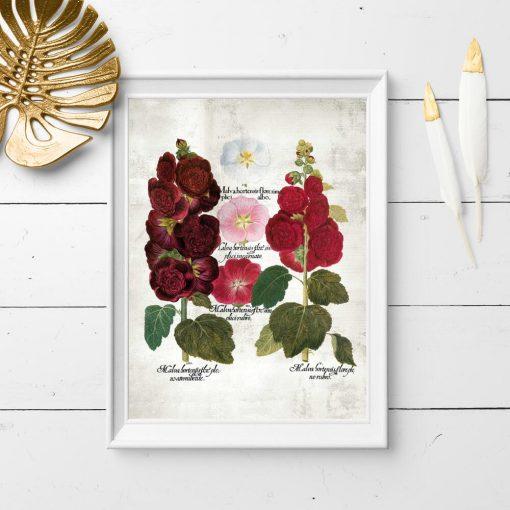 Plakat botaniczny z malwami ogrodowymi