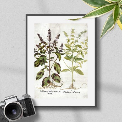 Plakat odmiany bazylii: zielona i fioletowa