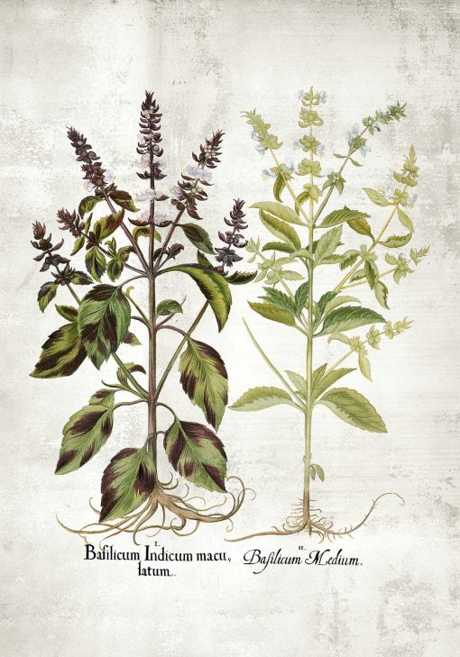 Plakat z bazylią i jej kwiatami do oprawienia w ramę