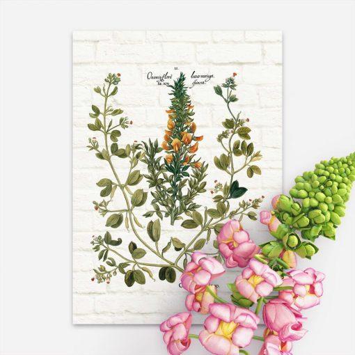 Plakat z rośliną śródziemnomorską - kaparami