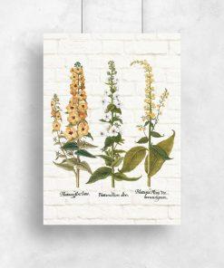 Plakat z rośliną wielokwiatową i łacińskimi nazwami