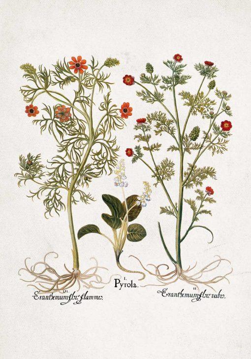 Plakat z roślinami łąkowymi i łacińskimi nazwami