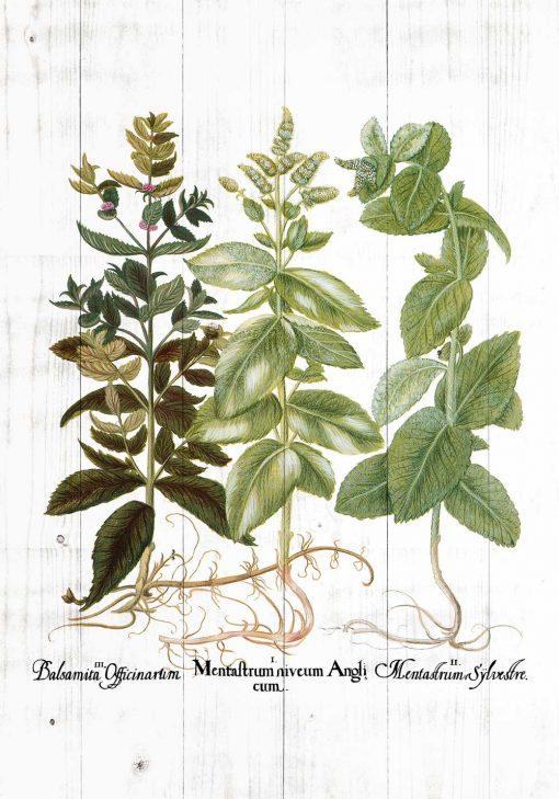 Plakat zielarski do ozdoby sklepu ogrodniczego